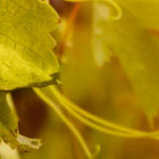 Conheça a rota gaúcha do Vinho